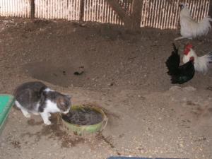 鶏小屋IN猫01