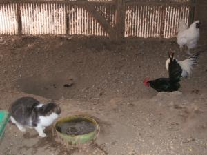 鶏小屋IN猫02