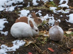 雪の畑のウサギ01