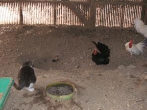 鶏小屋IN猫03