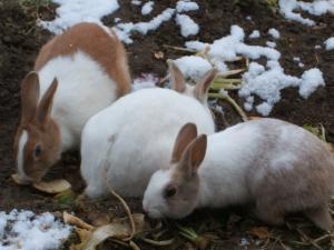 雪の畑のウサギ04