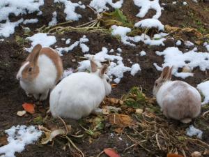 雪の畑のウサギ05