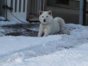 雪と犬07