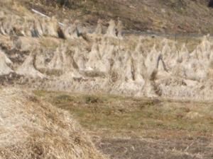 汚染牧草稲ワラ05