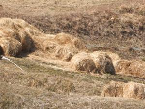 汚染牧草稲ワラ04