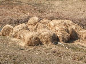 汚染牧草稲ワラ03