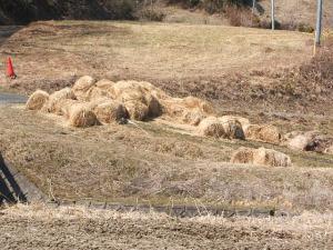 汚染牧草稲ワラ02