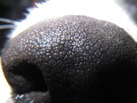 1cmマクロで撮った鼻