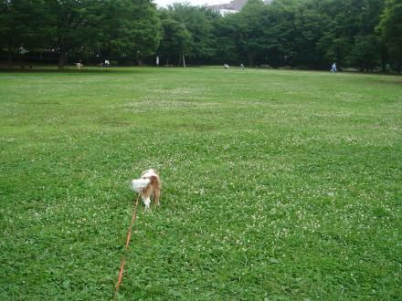 シロツメクサ畑