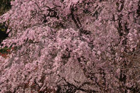 2012.04.10.新宿御苑 ND7000 3623