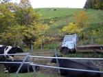 20081108牛とミゼット