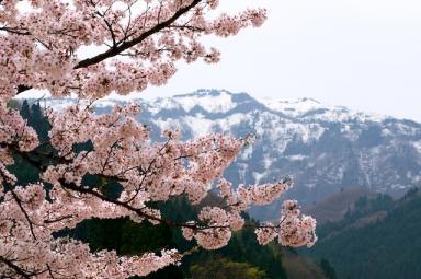 今年の桜。これで見納め?