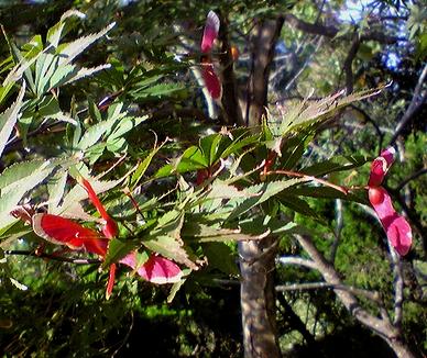 紅葉の翼果