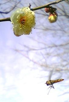 梅とハチ?