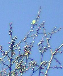 開花した取手の梅
