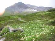 旭岳とチングルマの群生