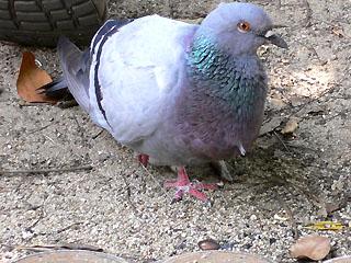 片足のハト
