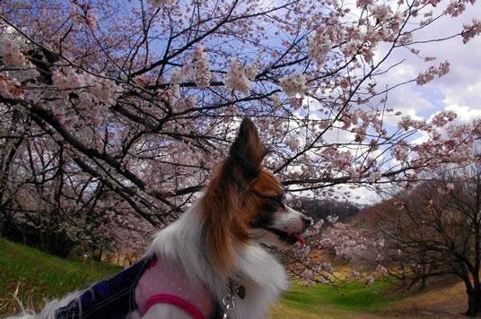 桜とすもも