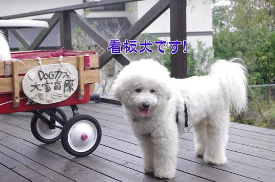 看板犬です!