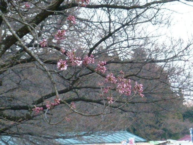 H240409神代桜