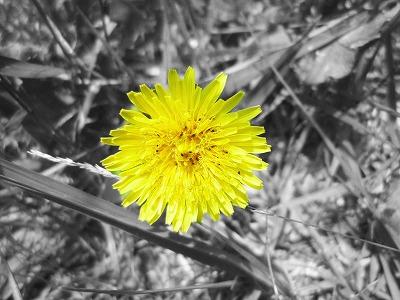 たんぽぽ。黄色かったから撮ってみましたww