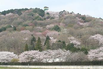 八郷 山桜