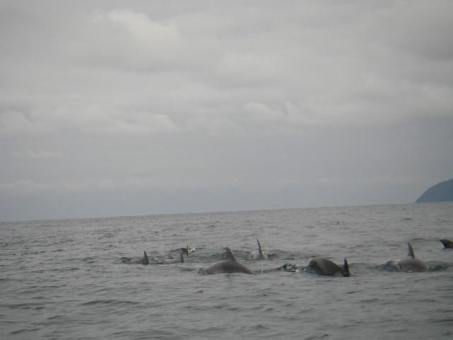 イルカの大群2