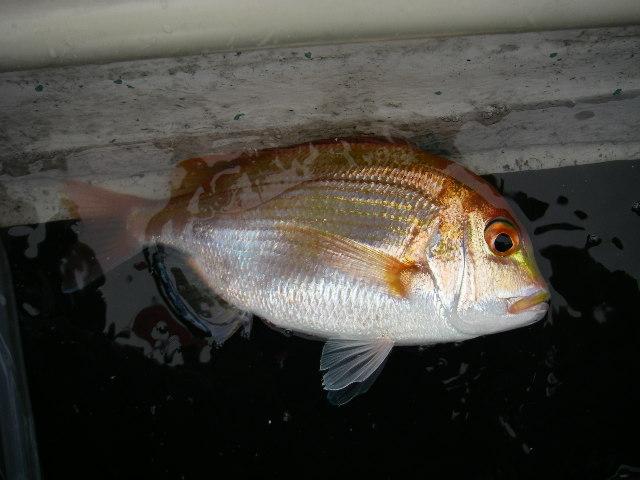 レンコ鯛30