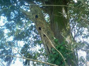 080315コゲラの巣