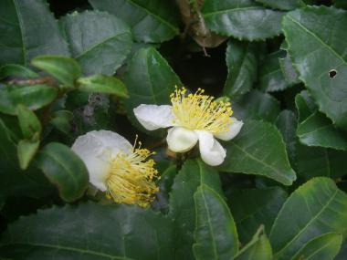 081023お茶の花