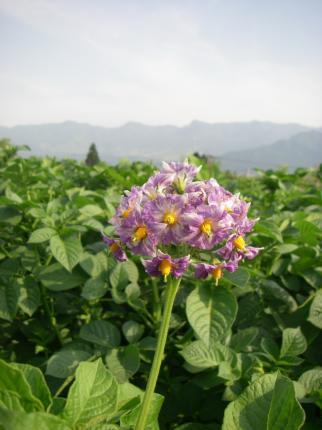 090601ジャガイモ花