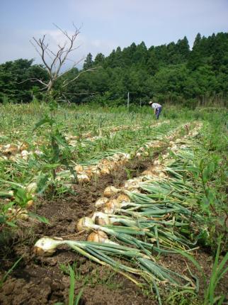 090607玉ねぎ収穫