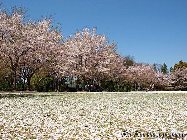 桜の絨毯♪