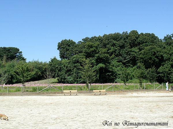 駐車場から見えたコスモス畑