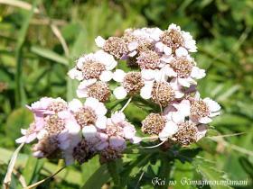 ペシ岬で見た花♪