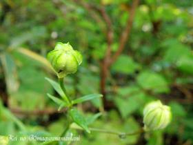 利尻島の花の蕾♪