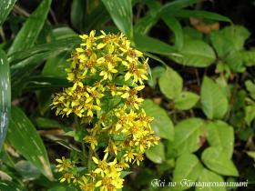 利尻島の花♪