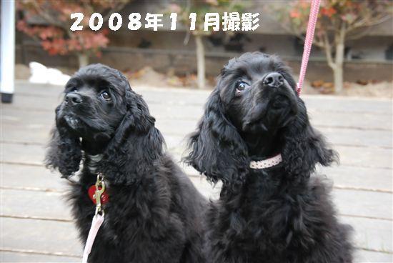 2008_11埼玉コッカー 064_R