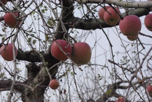 公園のりんご