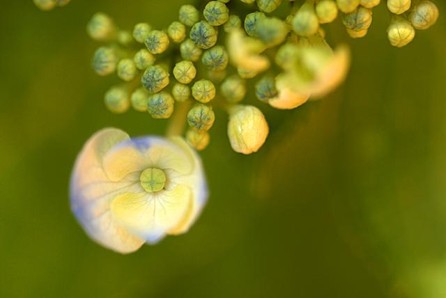 紫陽花の蕾_080601_02