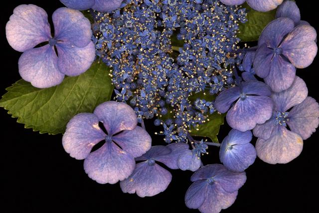 紫陽花_0806