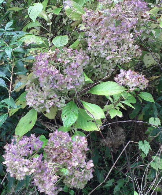 枯れ紫陽花