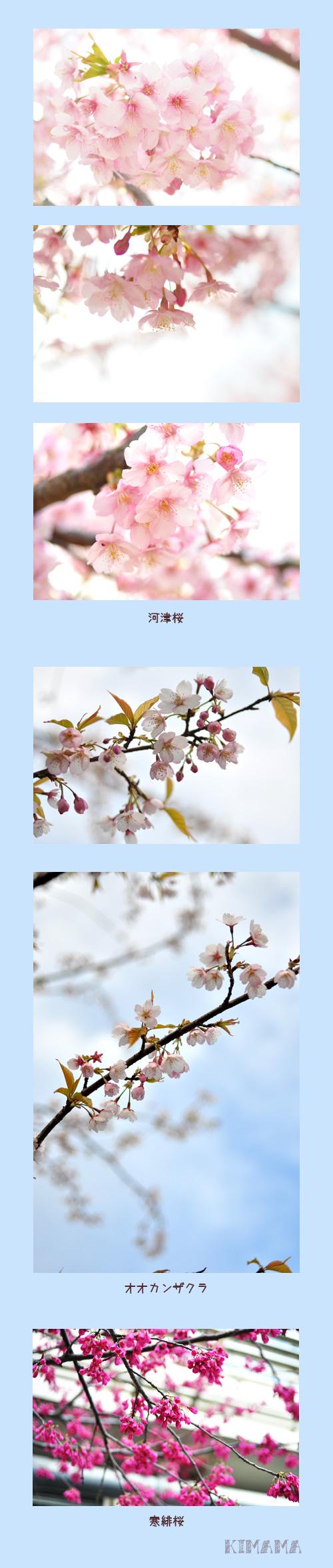 3月26日お花見2