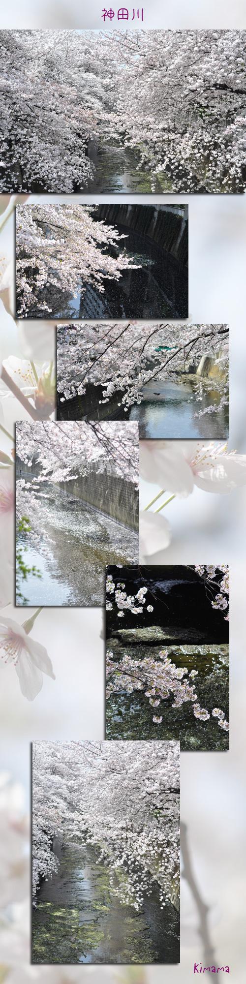 4月11日神田川1