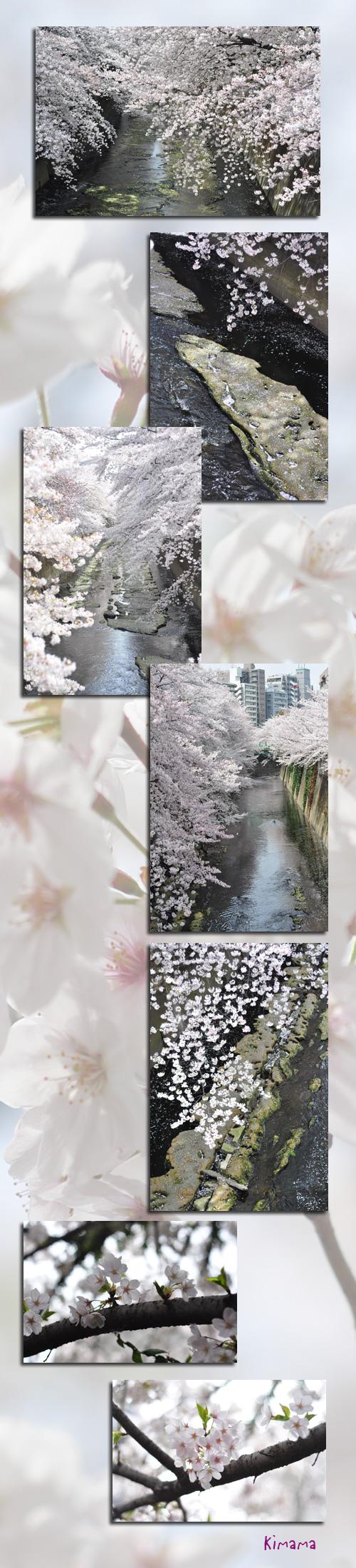 4月11日神田川2