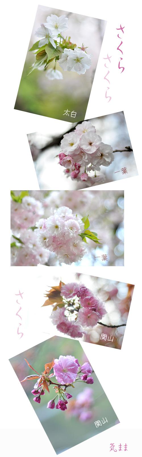 4月21日八重桜1