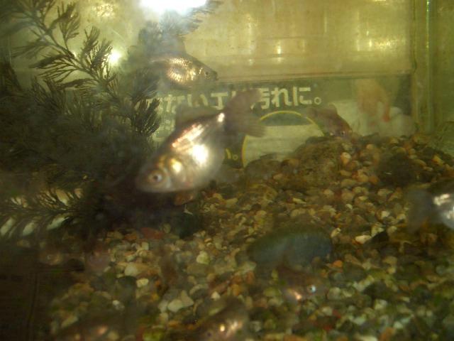 3009/03/26稚魚