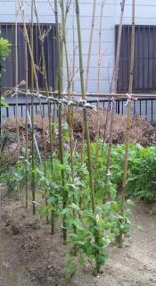 インゲン豆の支柱