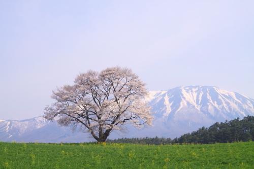 小岩井の春②