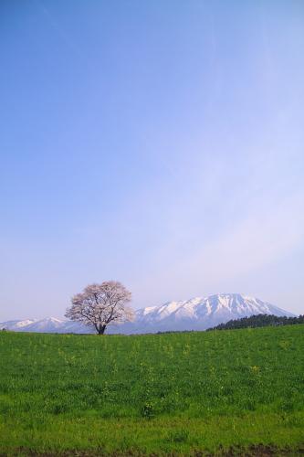 小岩井の春⑤